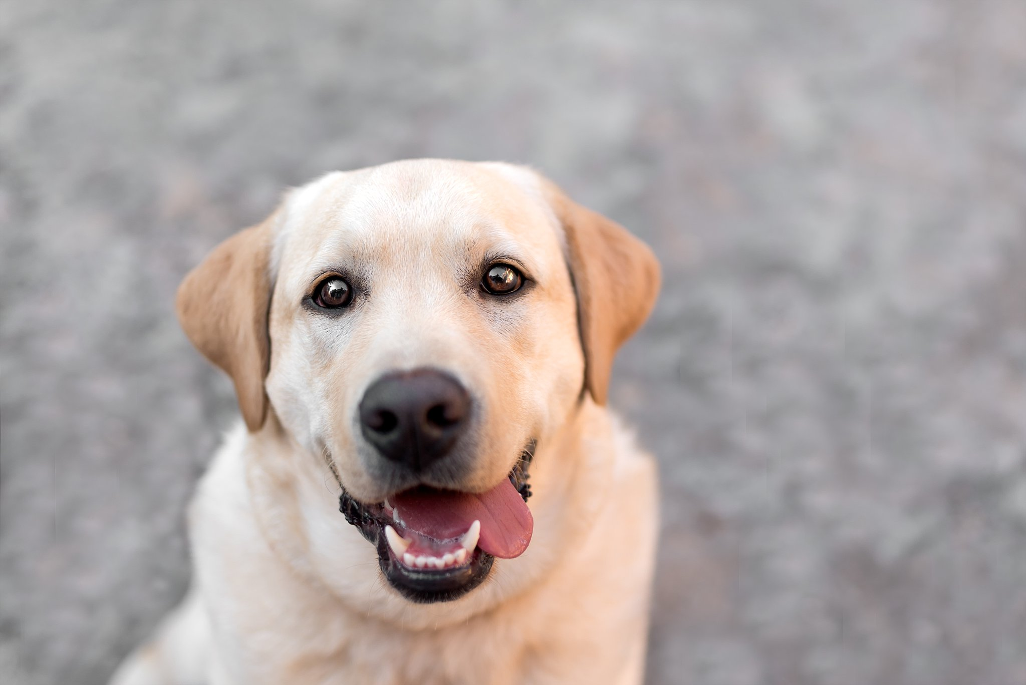 Yellow lab puppy picture