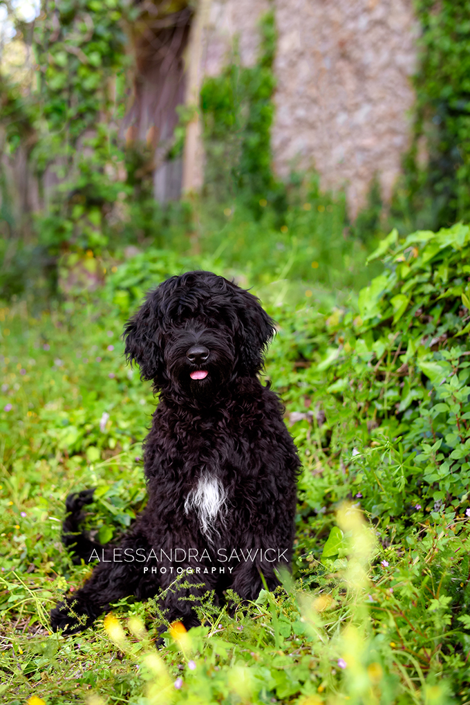 portuguese water dog puppy photo