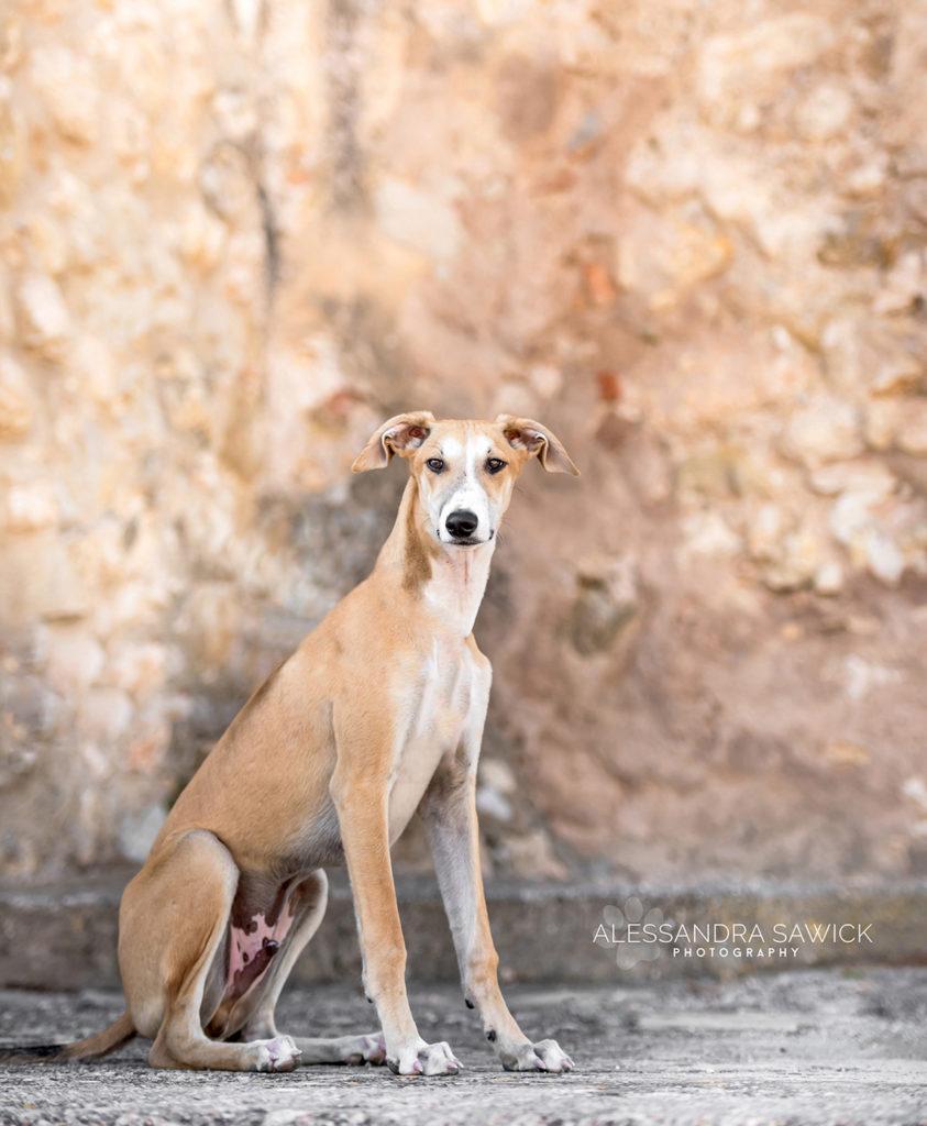 Galgo dog photo